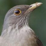 <p>Conheça mais sobre a ave símbolo do nosso país com o especial sobre o sabiá-laranjeira.</p>